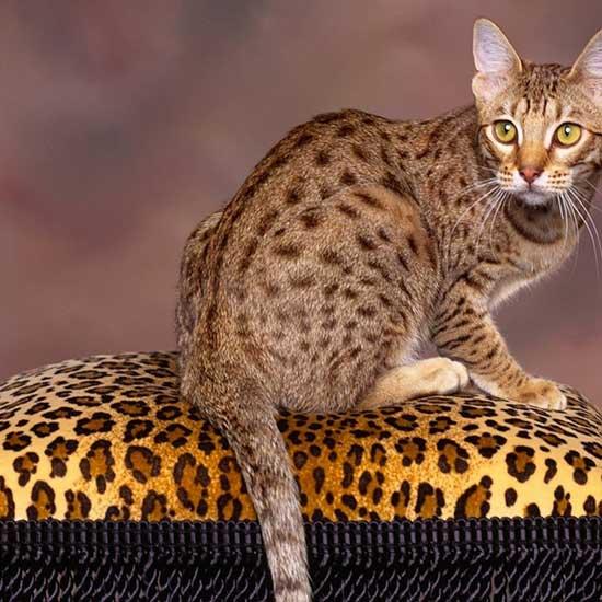 Калифорнийская сияющая кошкак, мини-леопард