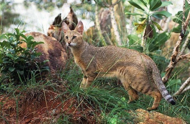 Камышовая кошка в естественной среде обитания