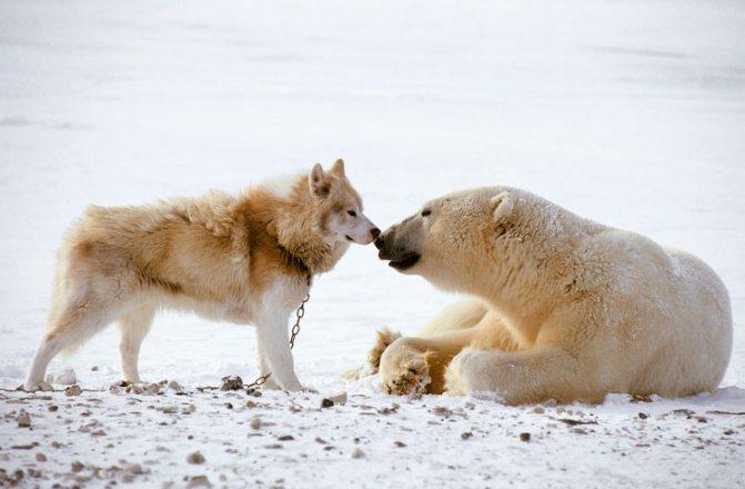 Канадская эскимосская лайка и медведь