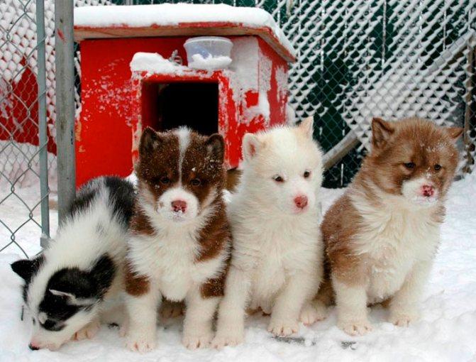 Канадская эскимосская лайка щенки