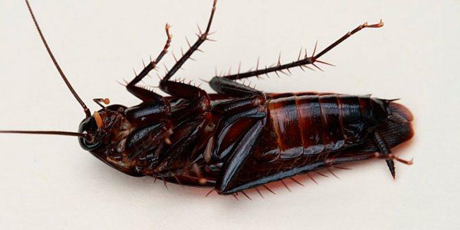 Канализационные тараканы чем и как травить гадов
