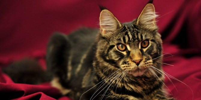 Капельница кошкам