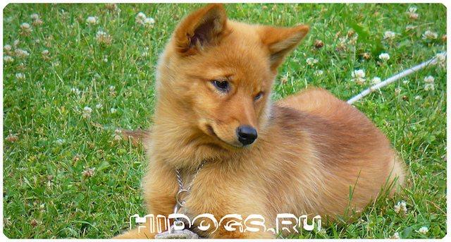 Карело - финские лайки (шпиц) - описание охотника, как воспитать, кормление и гигиена, как купить и выбрать щенка.