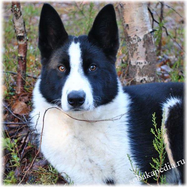 Карельская медвежья собака — серьезный северный зверь и прекрасный помощник в охоте