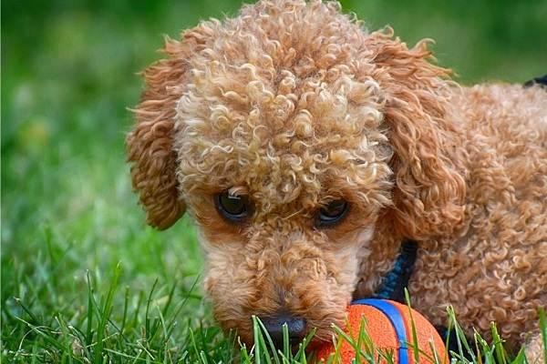 Карликовый-пудель-собака-Описание-особенности-характер-уход-и-цена-породы-7