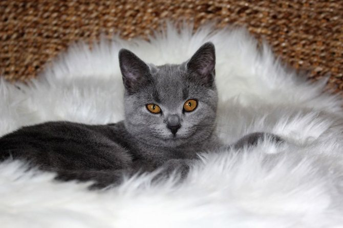Картезианский котёнок.jpg