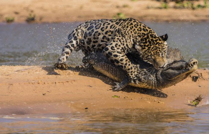 картинки ягуара животное