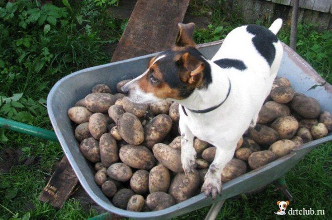 Картофель вреден