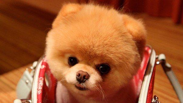 Кашель у собак мелких пород