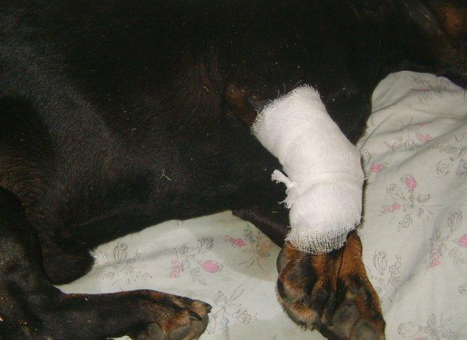 Катетер под бинтовой повязкой на лапе собаки