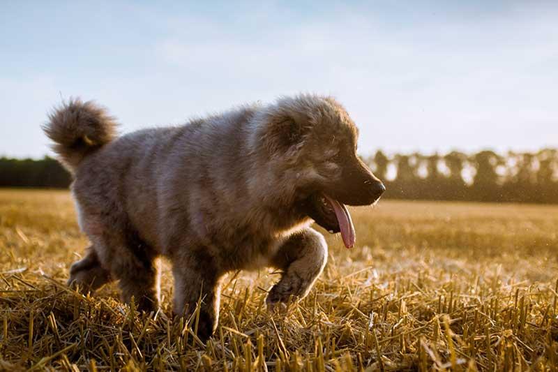 Кавказская овчарка: щенок, фото