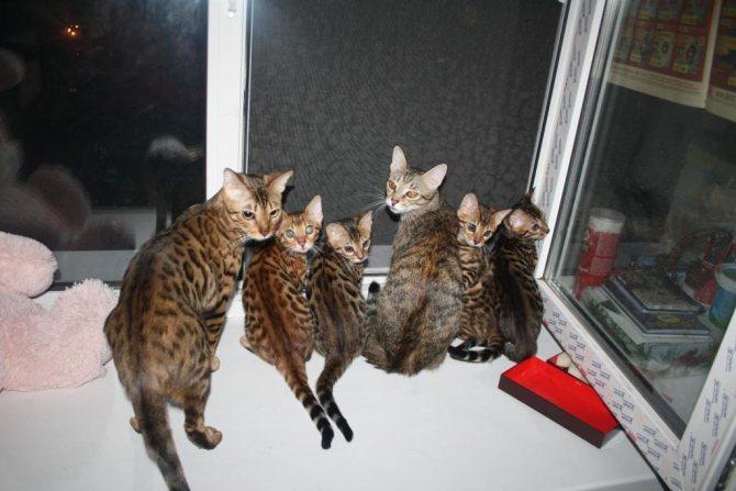 Каждый кот, появшяющийся в питомнике, должен проходит всестороннее обследование перед переселением