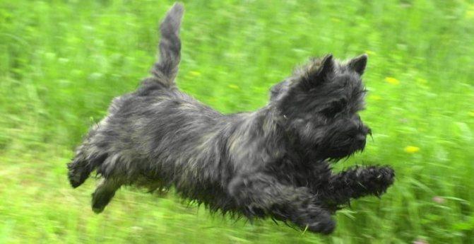 Керн-терьер очень активная собака