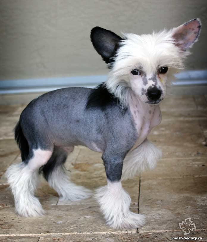 Китайская хохлатая лысая порода собак. CC0