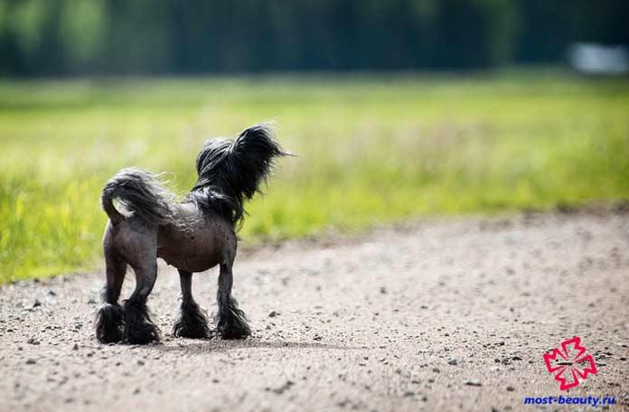 Китайская хохлатая собака. CC0