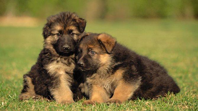 Клички для немецких овчарок-мальчиков: популярные имена для кобелей крупных пород. Как можно назвать щенка? Красивые русские имена и их значение
