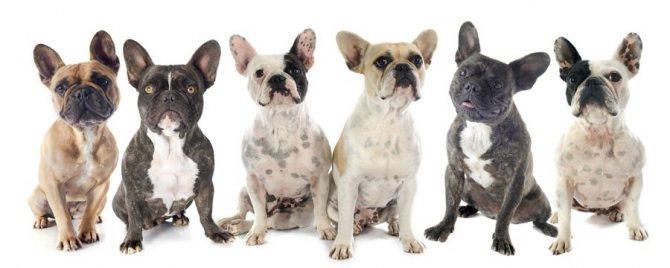 Клички для собак французский бульдог мальчиков
