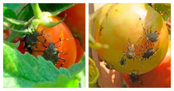 клоп черепашка на томатах