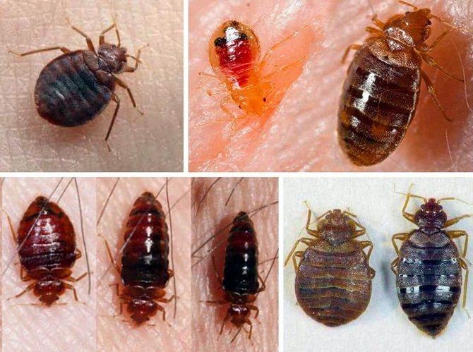 Клопы чем-то похожи на толстых тараканов, однако они меньше размерами
