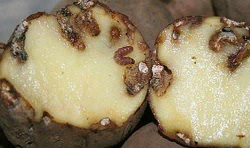 Клубень с личинками картофельной моли.