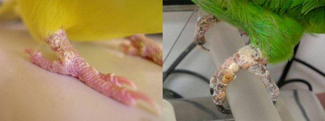 Кнемидокоптоз (чесоточный клещ) на лапах у попугая