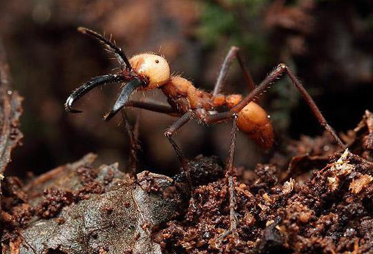 кочевой муравей