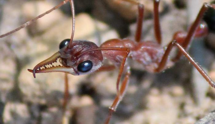 кочевые муравьи среда обитания