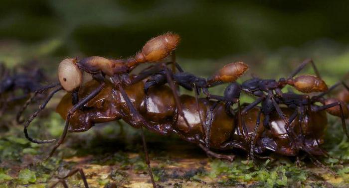 кочевые муравьи убийцы