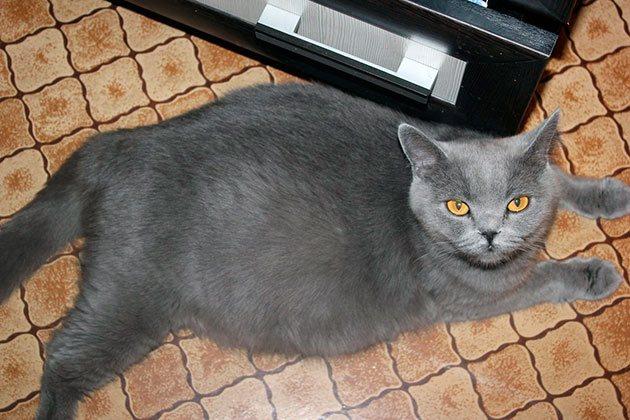 Когда и почему кошка может забеременеть после родов. Как быть, если кошка загуляла сразу после родов Может ли кормящая кошка забеременеть