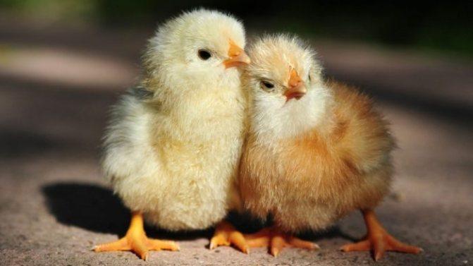 Когда стоит давать антибиотик цыплятам?