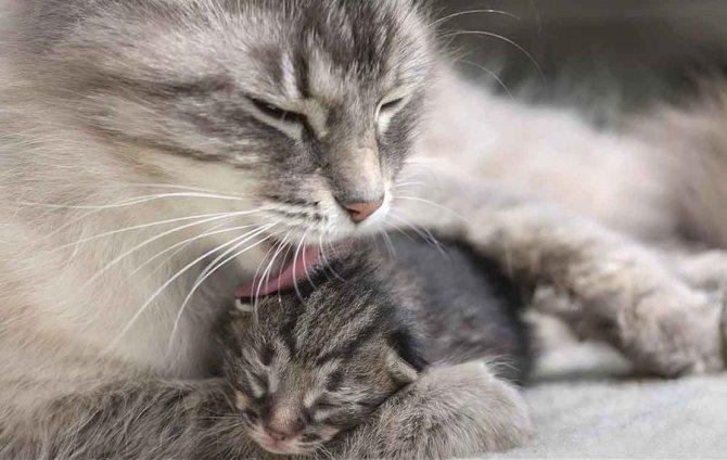 Когда у кошки появляется молоко после родов