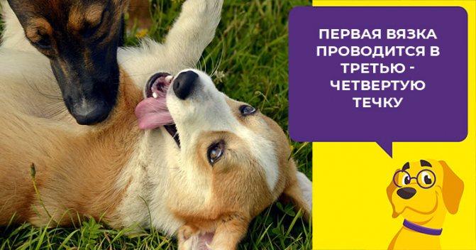 Когда вязать собаку во время течки