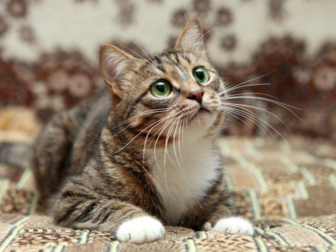 Кокки в моче у кота - причины и что делать