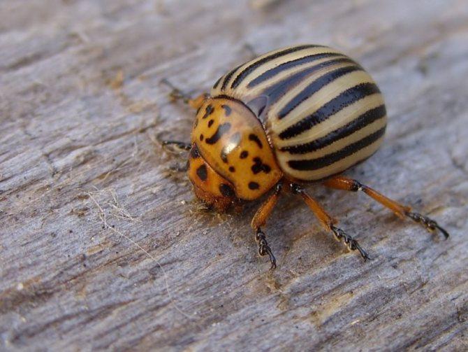 Колорадский жук как выглядит чем питается развитие с превращением откуда появился