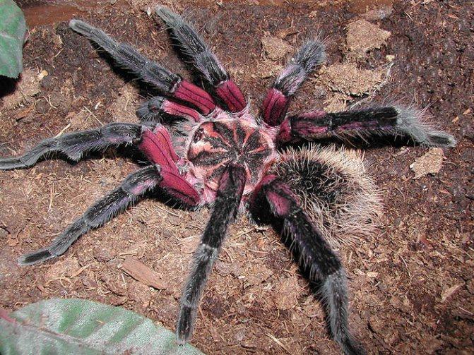 Колумбийский фиолетовый паук-птицеед