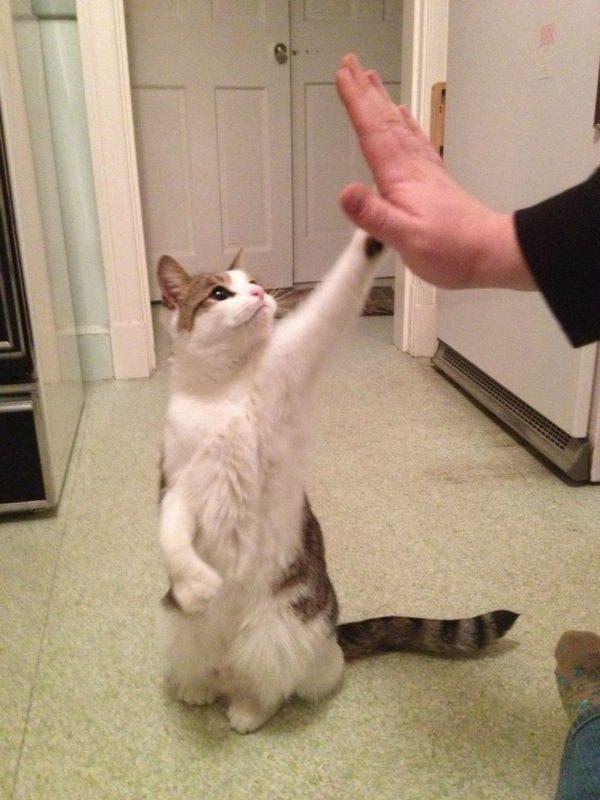 Команду «Дай пять!» следует вводить после того, как кот привыкнет к кликеру