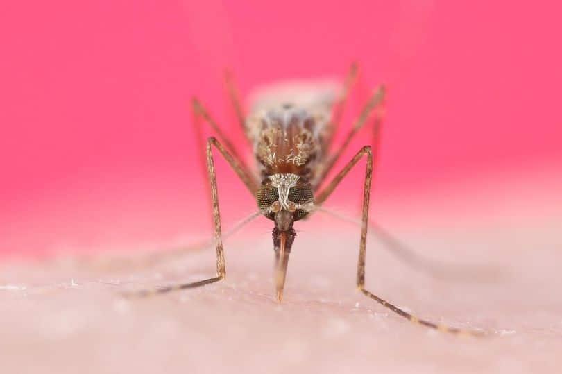 комар пьет кровь