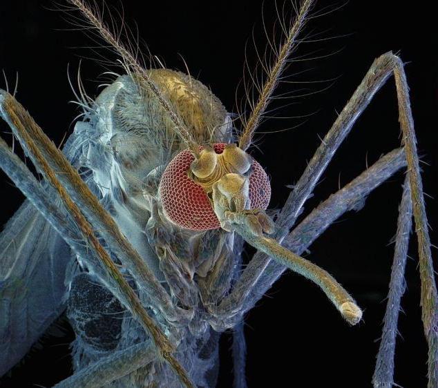комар пискун фото