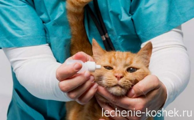 конъюнктивит глаз у кошки