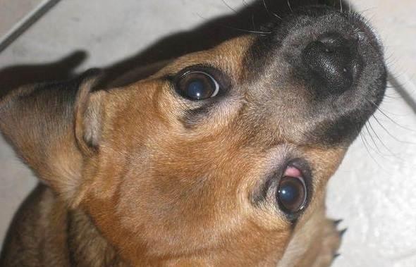 Конъюнктивит-глаз-у-собак-Причины-симптомы-виды-и-лечение-конъюнктивита-у-собак-6