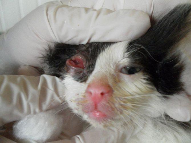Конъюнктивит – одна из распространенных причин для назначения Анандина кошке