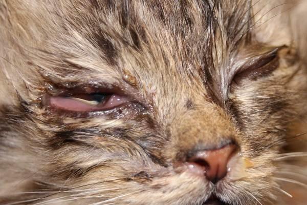 Конъюнктивит-у-кошек-Симптомы-причины-лечение-и-профилактика-болезни-13