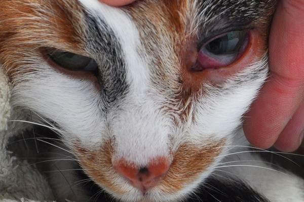 Конъюнктивит-у-кошек-Симптомы-причины-лечение-и-профилактика-болезни-5