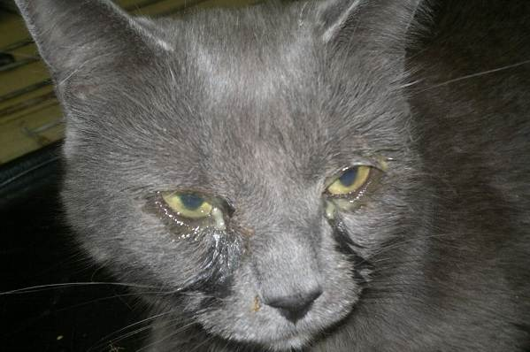 Конъюнктивит-у-кошек-Симптомы-причины-лечение-и-профилактика-болезни-7