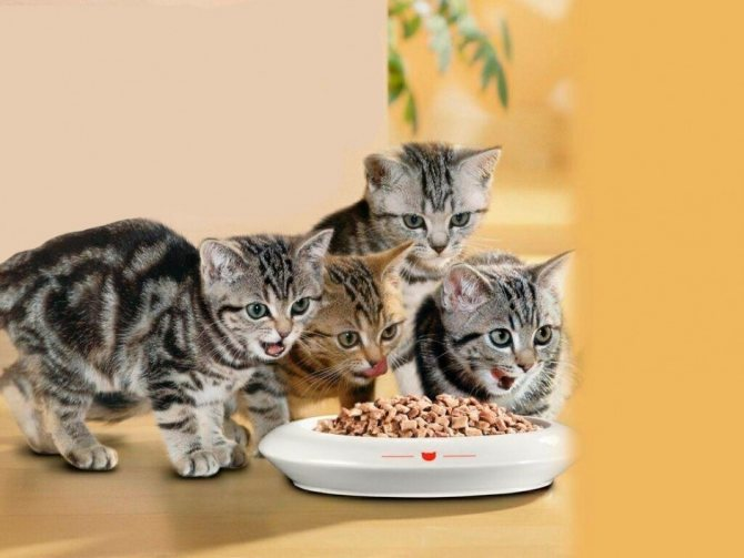 Кормление котят сухим кормом