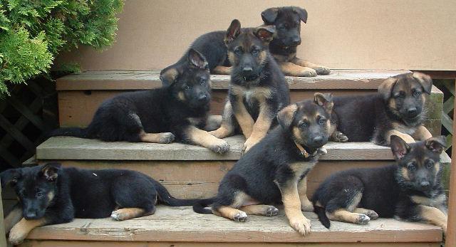 кормление новорожденных щенков немецкой овчарки без матери