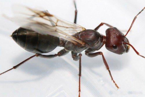 королева муравьёв