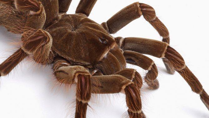 Королевский бабуиновый тарантул
