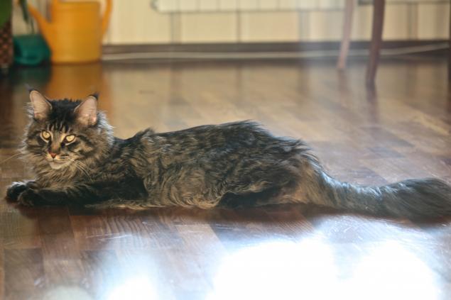 Кошачьи истории нашего дома, часть 4 Мотя, мейн кун - поскакун, фото № 2