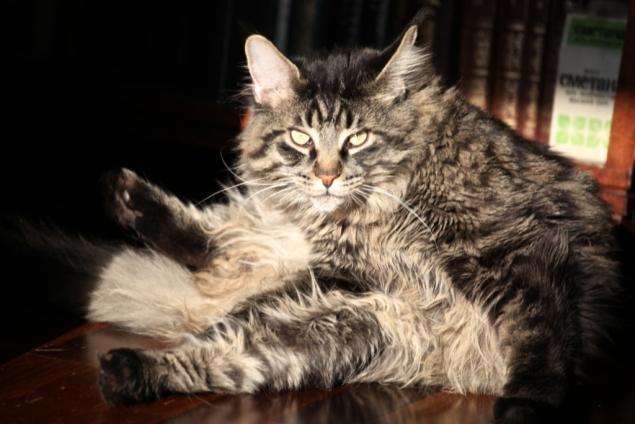 Кошачьи истории нашего дома, часть 4 Мотя, мейн кун - поскакун, фото № 3
